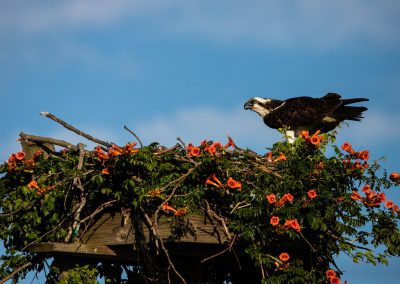 © Lori A Cash, Osprey on Nest with Trumpet Flowers