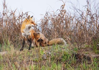 © Lori A Cash, Red Fox Vixen and Pup